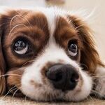 Dog's Cloudy Eyes May Be Normal Aging Change, Not Cataracts