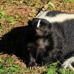 Skunk Remedies Safe for Puppy