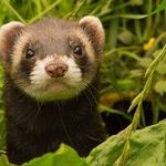 Protect Pet Ferrets From COVID-19