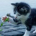 Declawed Cats Suffer Chronic Pain
