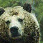 Summoning Bears