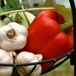Garlic Hair