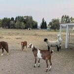 Llama Mama in the COVID Age