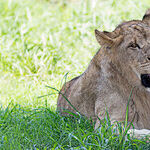 Bob Barker: Good That's Come From the Loss of Zimbabwe Lion Cecil