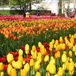 Plan Now for a Tulip Time Cruise