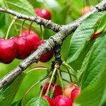 Cherry-Picked
