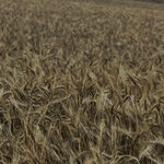 Pesticide Goes Against the Grain