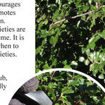 Holly Pruning