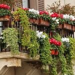 Window-Box Plants