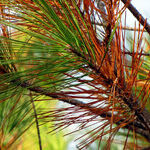 Managing Pine Needles, Crabapple Fruits and Fire Blight