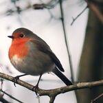 Robin Migration