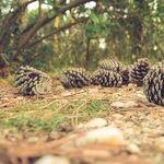 The Pine Cone Zone