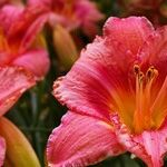 A Deeper Look at Daylilies