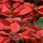 Poinsettia Rebloom