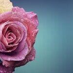 American Garden Rose Selection 2021 Winners