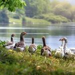 Goose Population Can Be Controlled