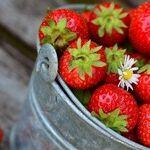 Strawberry Harvesting