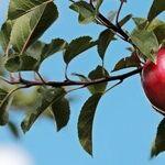 Alternate-Bearing Apple Tree