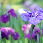 Wilting Relationship with Iris