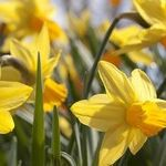 Life Lessons From a Daffodil Garden
