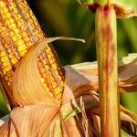 4 Absolutely Brilliant Ways to Cook Corn on the Cob