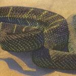 In Defense of Rattlesnakes